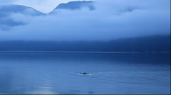 Dolphins swimming in Eidfjord, Norway Stock Footage