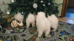 Samoyed puppies at the Christmas tree Stock Footage