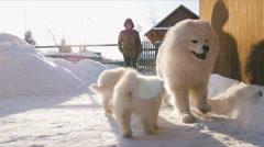 Samoyed dogs frolic - stock footage
