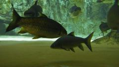 Large Pangasius and Other Fish at a Public Aquarium. UltraHD video Stock Footage