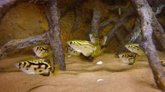 School of Archerfish in a Public Aquarium. Video 4k Stock Footage