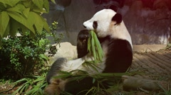 Adult Panda Eating Bamboo with its Paws. Video 4k Stock Footage