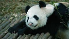 Panda raises his head and looks at the camera. Video 4k Stock Footage