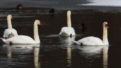 Mute Swans on the water in winter Stock Footage
