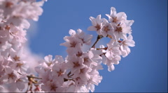 Cherry blossom in Fukushima Prefecture Stock Footage