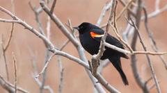 Red-winged Blackbird, Agelaius phoeniceus, singing in a cattail marsh - stock footage