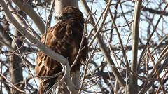 Close up of a juvenile Rough-legged Hawk, Buteo lagopus Stock Footage