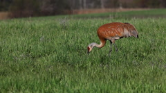 Sandhill Crane, Grus canadensis, feeding in meadow - stock footage
