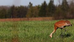 Sandhill Crane, Grus canadensis, moving in field - stock footage