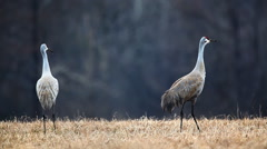 Pair of Sandhill Cranes, Grus canadensis, in meadow - stock footage