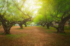 Plum tree in ang khang, Chiang mai, Thailand. - stock photo