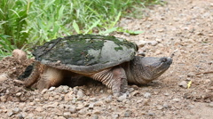 Common Snapping Turtle, Chelydra serpentina, laying eggs Stock Footage