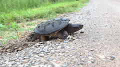 Common Snapping Turtle, Chelydra serpentina, laying eggs in gravel Stock Footage