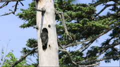 Black Woodpecker in Hokkaido Stock Footage