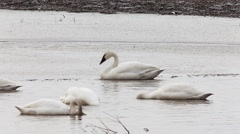 Flock of Tundra Swan, Cygnus columbianus Stock Footage