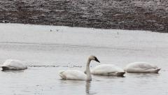 Tundra Swan, Cygnus columbianus, in early spring Stock Footage