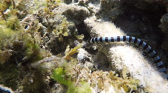 Banded Sea Snake in sea Stock Footage