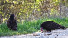 Pair of Turkey Vulture, Cathartes aura, feeding - stock footage