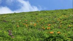 Flower field in the wind, Rebun Island, Hokkaido, Japan Stock Footage