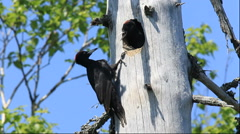 Black Woodpecker parent and chick in Hokkaido - stock footage