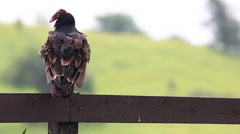 Stock Video Footage of Turkey Vulture, Cathartes aura, flies off