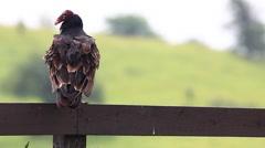 Turkey Vulture, Cathartes aura, flies off - stock footage