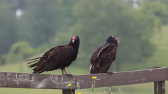 Pair of Turkey Vulture, Cathartes aura, relaxing Stock Footage