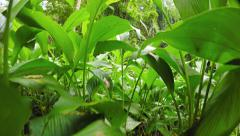 Camera Rising Up from Dense Ground Cover in Rainforest. Video 4k - stock footage