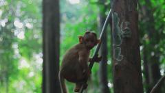 Young monkey goes down on the vine in jungle Stock Footage