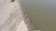 Crocodiles in the Rio Grande  - stock footage