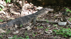 A Large Monitor Lizard on a Remote Thai Island - stock footage