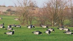 Barnacle geese feeding on grass field Stock Footage