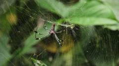 Golden Silk Orb Weaver Spider 1 Stock Footage