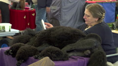 Giant poodle being brushed on table Stock Footage