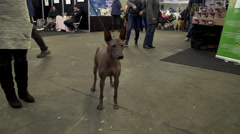 Mexican hairless dog Stock Footage