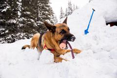 Rescue dog at Mountain Rescue Service at Bulgarian Red Cross is training it's - stock photo