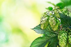 Illustration of hop cones Stock Illustration
