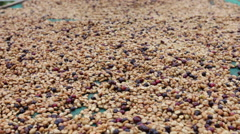 Spreading Coffee Beans to Dry - stock footage