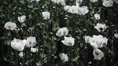 Poppy field, Opium Poppy I. - stock photo
