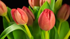 Time lapse of red tulips on black background with transpareny of alpha channel - stock footage