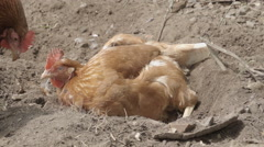 Slow-motion shot of free range chickens in a stackyard having a dirt bath. The Stock Footage