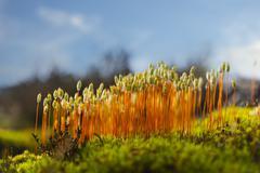 Hair cap moss in Scandinavian forest Stock Photos