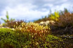 hair cap moss in Scandinavian forest - stock photo