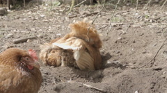 Slow-motion shot of free range chickens in a stackyard having a dirt bath. The - stock footage