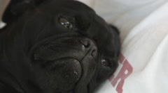 Black Pug Dog Stock Footage