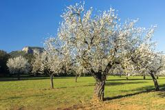 Stock Photo of blossoming almond tree