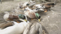 A flock of call ducks feeding in slow motion. Stock Footage