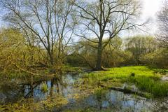 Softwood floodplain with willow Salix sp trees in spring Droemling nature - stock photo