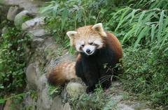 Red Panda Ailurus fulgens Sichuan Province China Asia Stock Photos