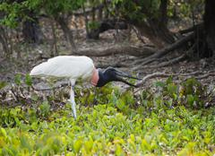 Jabiru Jabiru mycteria fishing and harassed by mosquitos Pantanal Mato Grosso - stock photo